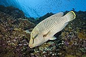 Juvenile Napoleon Humpback Wrasse Elphinstone Red Sea Egypt