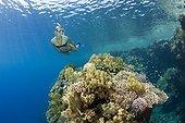 Skin diving Zabargad Red Sea Egypt