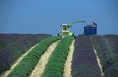 Mechanized harvesting lavender flowers in Provence France