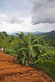 Bananier Nord Thaïlande