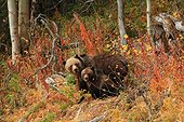 Grizzly female with a cub in bushes Canada ; Age of Pooh: 1 year and a half