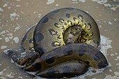 Green anaconda suffocating a Turtle in the llanos Venezuela