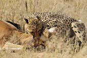Cheetah stifling a Springbok Kgalagadi South Africa ; The constriction of the prey by the mother of three young cheetahs.