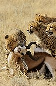 Cheetah stifling a Springbok Kgalagadi South Africa ; The young male put to death the prey.