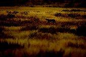 Cheetah walking at dawn Kgalagadi South Africa