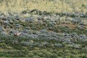 Oryx in the dunes of the Kalahari Kgalagadi South Africa
