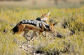 Black-backed jackals in dunes Kgalagadi South Africa