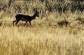 Springbok in tall grass at dawn Kgalagadi South Africa