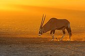 Gemsbok walking in the Auob dry riverbed in the morning