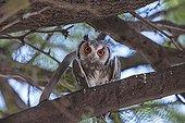 Southern white-faced owl in a tree Kalahari desert