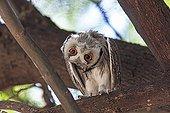 Southern white-faced owl turning his head sideways Kalahari