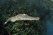 Morelet's crocodile in a cenote Yucatan Mexico