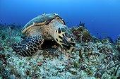 Hawksbill turtle feeding on the reef Yucatan Mexico