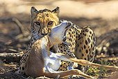 Female Cheetah stifling a Springbok after capture