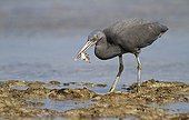 Pacific reef egret attempting to eat a picasso fish Bali
