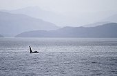 Killer Whale off Vancouver Island Canada