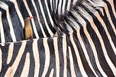 Piqueboeuf à bec rouge sur le dos d'un Zèbre PN Kruger