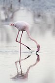 Greater Flamingo feeding in water in winter Camargue France