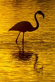 Greater Flamingo in water at sunset winter Camargue France