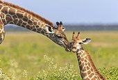 Girafe caressant son jeune PN Etosha Namibie
