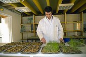 Control wheat germ for the locusts Micronutris ; Cedric Auriol, director Micronutris, control the growth of locally produced wheat.Micronutris is the first European company specialized in the breeding and development of products based on edible insects for food.