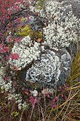 Lichens and bilberries in bog Hamra Sweden