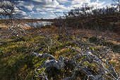 Birches and Blueberries National Park Sånfjället Sweden