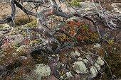 Reindeer lichen Dead tree and Blueberry Skuleskogen Sweden
