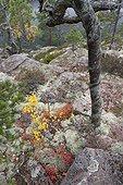 Blueberries and twisted trunk in the rocks Skuleskogen Sweden