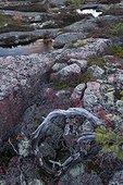 Rock slab covered with lichens Skuleskogen Sweden