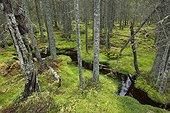 Stream in moss undergrowth Skuleskogen Sweden
