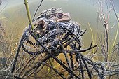 Common toads mating in a pool Prairie du Fouzon France