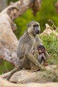 Yellow Baboon female and young Tsavo East Kenya