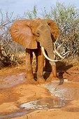 Eléphant d'Afrique mâle s'arrosant de boue Tsavo Est Kenya