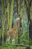 Girafe de Rotschild mâle dans la forêt d'Acacia Nakuru Kenya