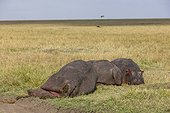 Young Hippos defending their wounded or dying mother Kenya