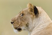 Portrait of Lioness in the savannah Masai Mara Kenya