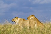 Lions in the savannah Masai Mara Kenya