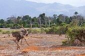 Female ostriches in the savannah of Tsavo East Kenya