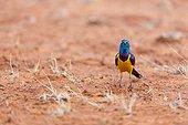 Golden-breasted Starling on ground East Tsavo Kenya
