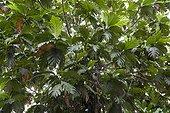 Breadfruit foliage Sulawesi Indonesia