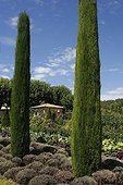 Cypress 'Totem' and vegetable garden Provence France