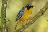 Chorister Robin-chat on a branch Tsitsikamma South Africa