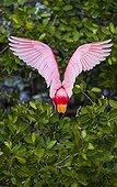Spatule rosée dans la mangrove Everglades Floride USA