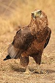 Young Bateleur Eagle on the ground Kenya