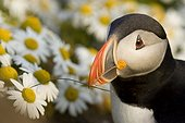 Puffin in flowers Latrabjarg Iceland