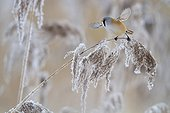 Bearded reedling flying away from a frozen reed ; 1st prize at the Namur Festival 2011 - Category Caught on the fly. 1st prize at the 2011 Golden Turtle - Category Birds. Favorite Price at Montier en Der Festival 2012.