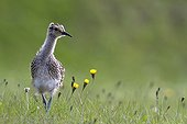 Young Whimbrel looking for food in a meadow Vik