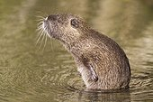 Coypu scratching his belly when grooming in water