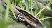 Grass snake swallowing an European frog France